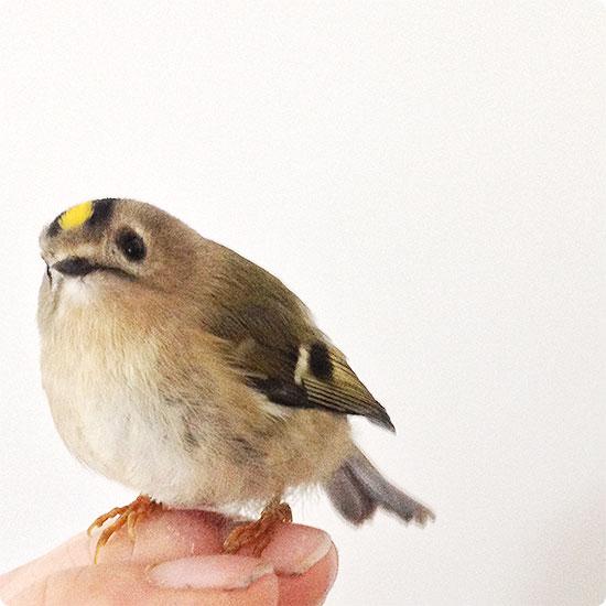 12 von 12 - November 2014 - ein Goldhähnchen zu Besuch - Vogel