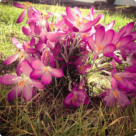 7 Tage - 7 Bilder | KW#11 | Gartenarbeit - Krokus - Krokusse