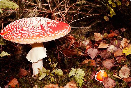 Waldspaziergang - Herbst 2013 - Wald - Pilz - Pilze - Fliegenpilze