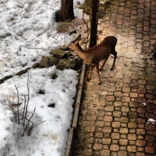 Reh im Schnee - 07.03.2013