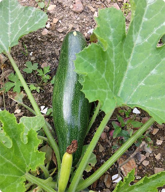 Ein Garten entsteht. #2 - Zucchini aus dem eigenen Garten - Ernte