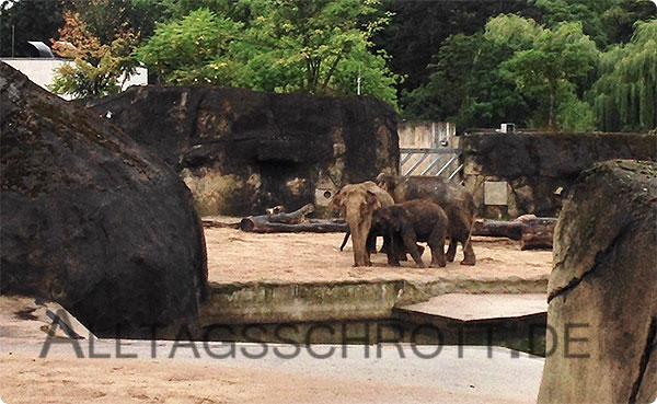 Kölner Zoo - Elefanten