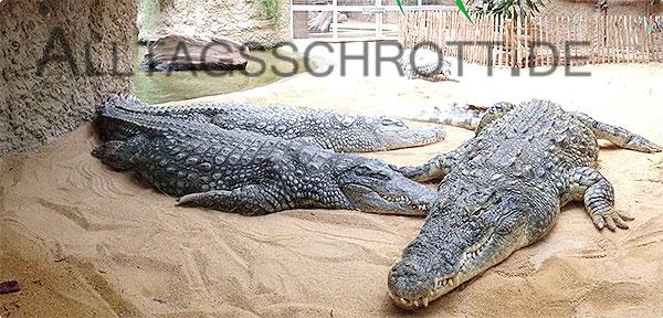 Kölner Zoo - Krokodile