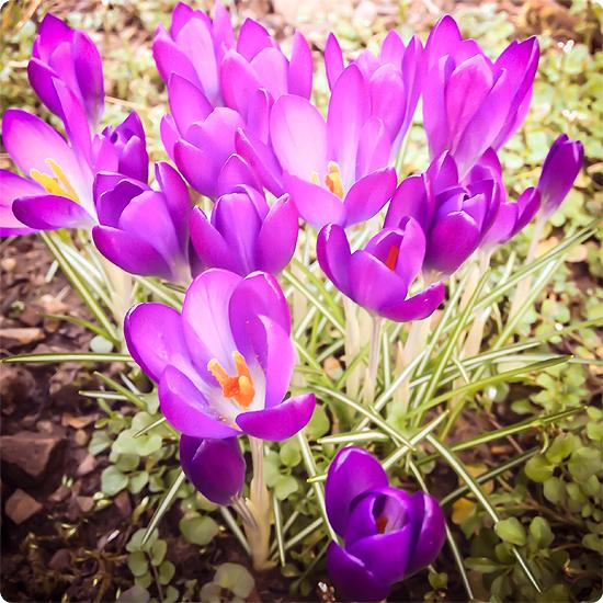 7 Tage - 7 Bilder   KW#10   Krokus im Garten - der Frühling kommt