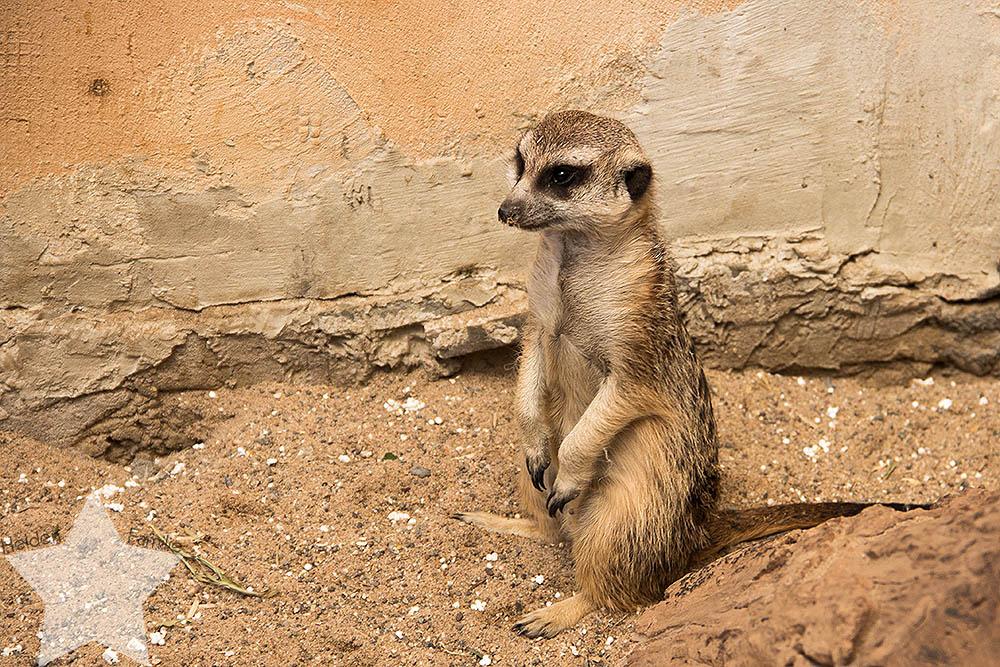 Wochenende in Bildern - ♥-Freunde Wiedersehen und Ausflug zum Affen- und Vogelpark - Erdmännchen