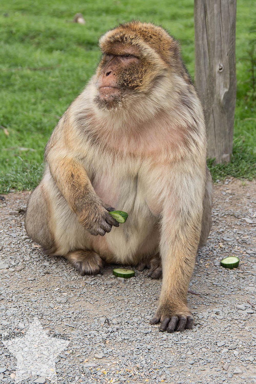 Wochenende in Bildern - ♥-Freunde Wiedersehen und Ausflug zum Affen- und Vogelpark - Berberaffe