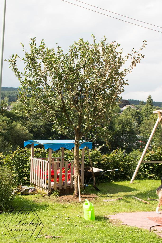 12von12 und Wochenende in Bildern - viel Arbeit und ein neuer Apfelbaum - Apfelbaum eingepflanzt