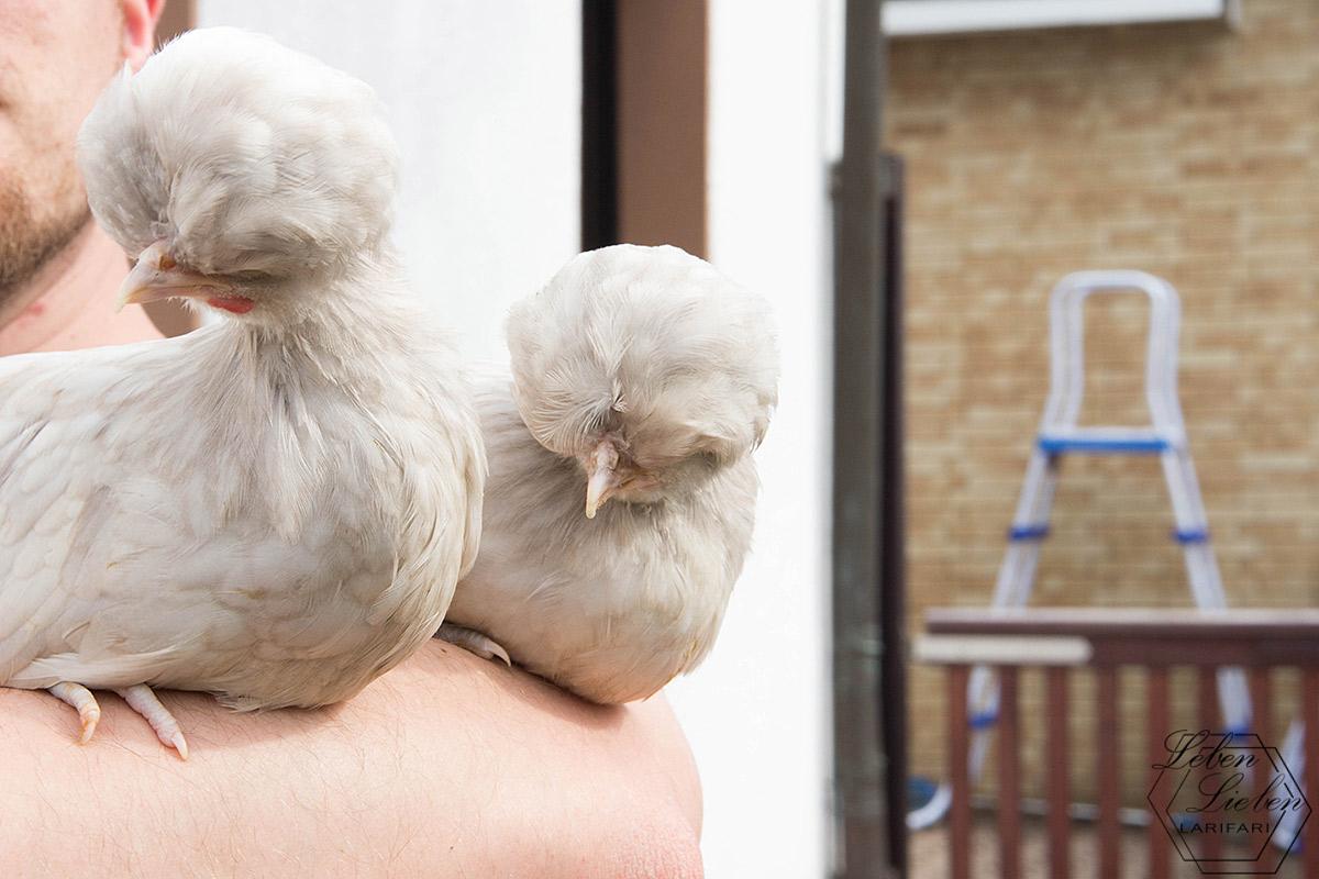 Die Paduaner Hühner kommen in den Garten