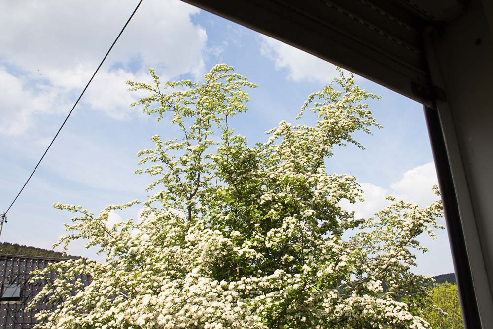 Der Weiß dorn blüh - Frühling!