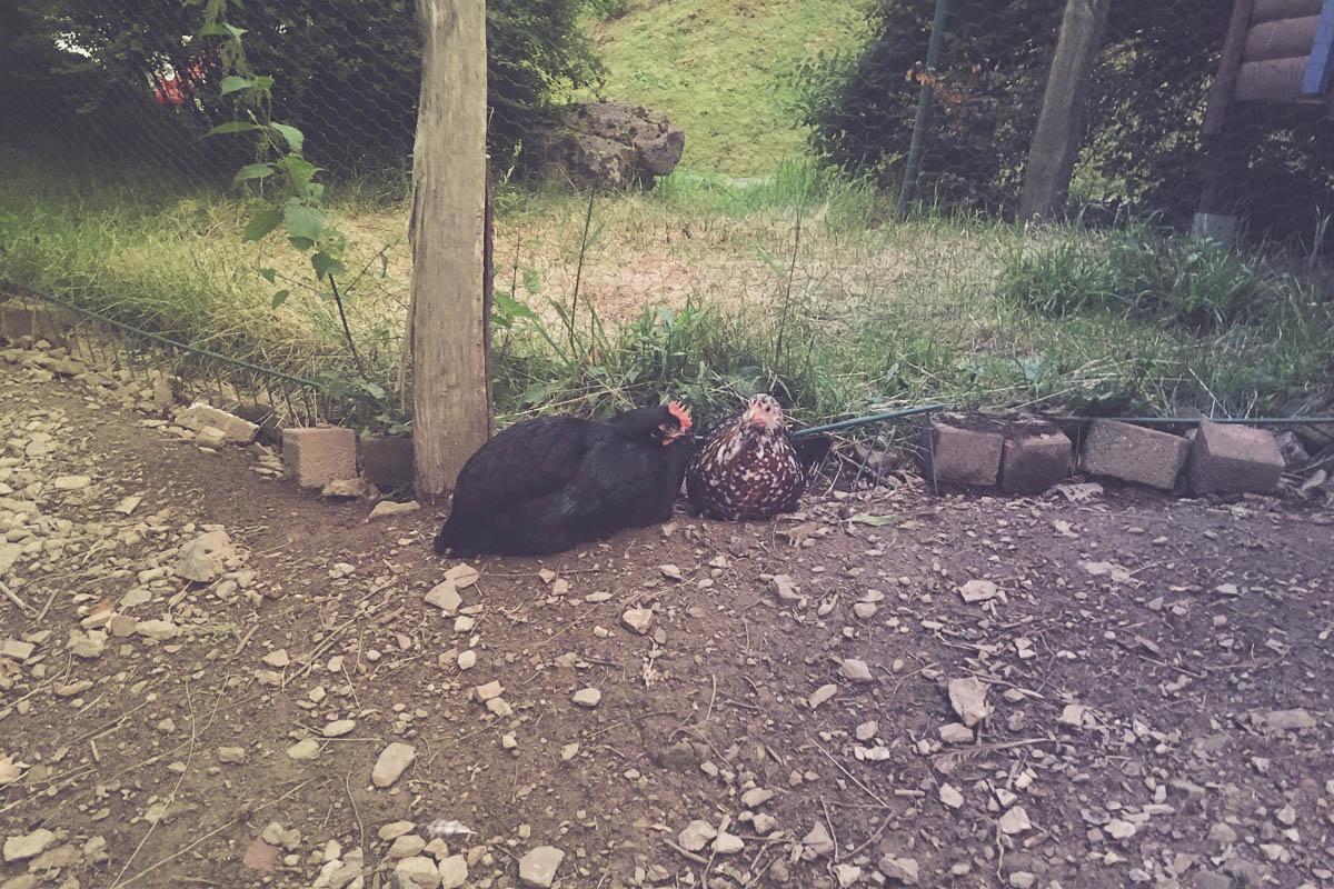 Abends Hühner rein tragen